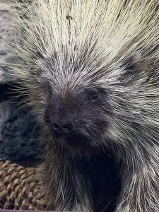 photo of porcupine by Mary Harssh via Wikimedia Commons