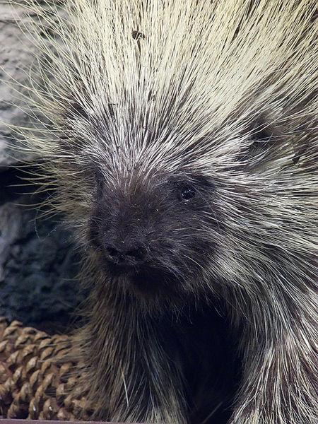 photo of porcupine by Mary Harssh via Wikimedia Commons